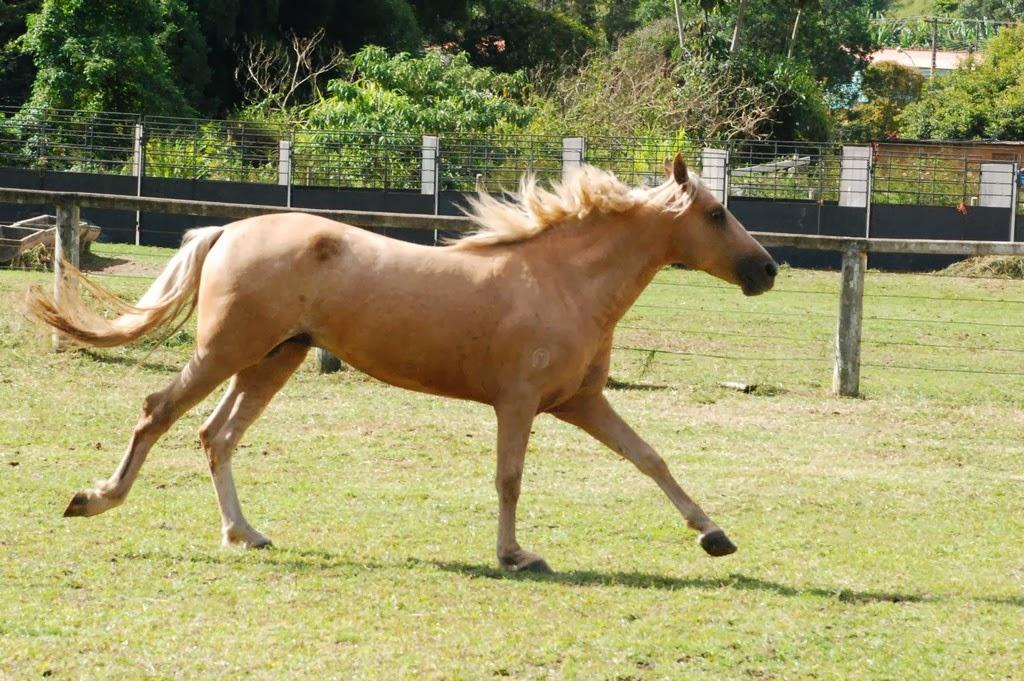 I Copa de Marcha do Cavalo Mangalarga Marchador fará parte da programação