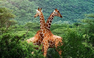 Jirafas en la sabana y animales en su habitat natural