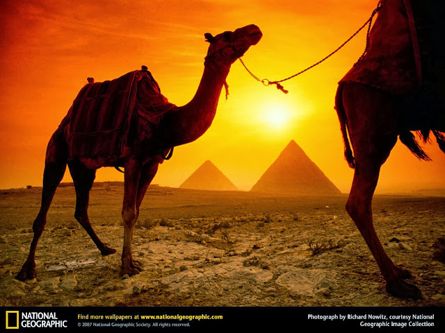 Camels and Pyramids Wallpaper egypt wallpaper