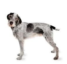 German Wirehaired Pointer  (Deutscher Drahthaariger Vorstehhund)