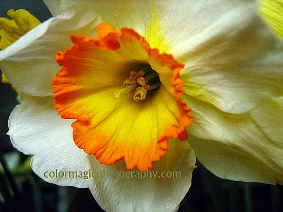 beautiful daffodil-macro photography