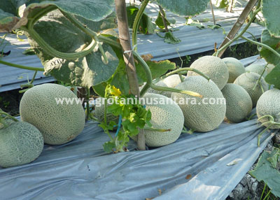 Teknis Budidaya Melon dengan Produk Pupuk Organik NASA | Agro Nusantara