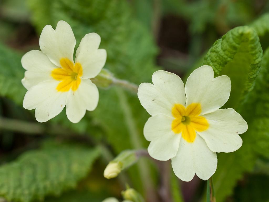 Species of UK Week 28 Primrose 'Primula vulgaris'