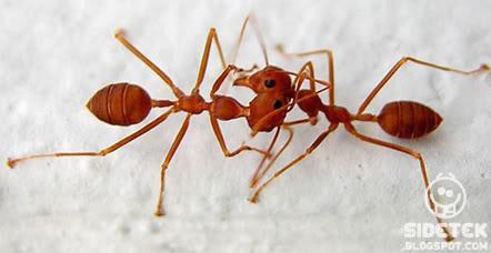 Mengapa Semut Berhenti Ketika Bertemu Semut Lainnya?