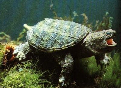 tortuga lagarto Chelydra serpentina