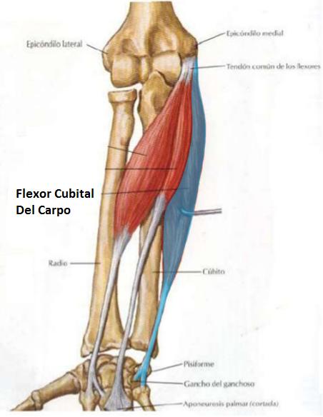 Músculo flexor cubital del carpo   iinmed
