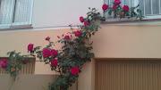 Mi rosal tiene ramas muy altas