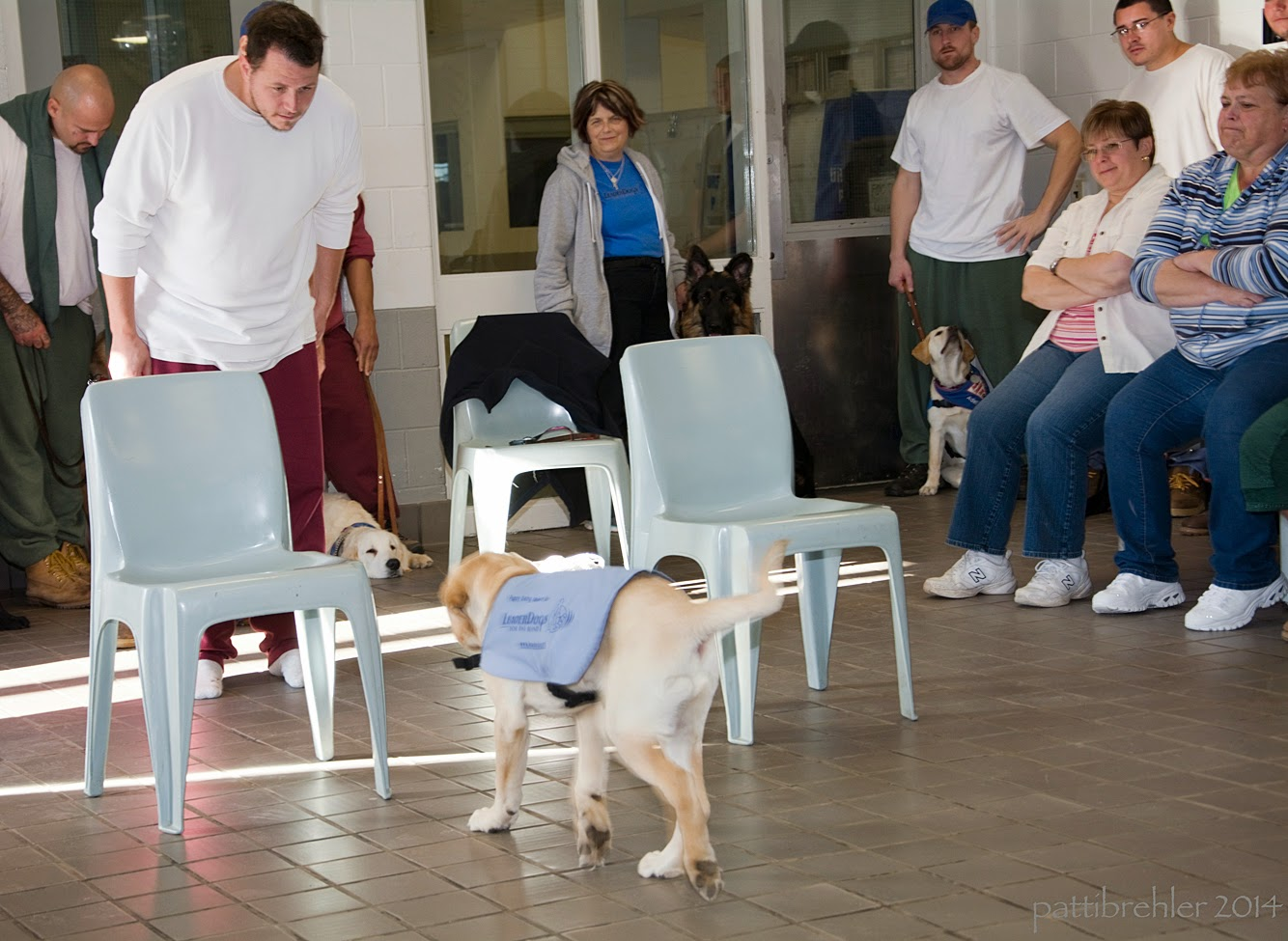 A yellow lab/golden retriever puppy wearing the blue Future Leader Dog jacket is walking away from the camera toward two light blue plastic chairs. Just beyond the chairs is a man wearing a white t-shirt and maroon pants. The man is facing the  puppy and looking down at him. In the background are three men and three women sitting or standing and watching the puppy.