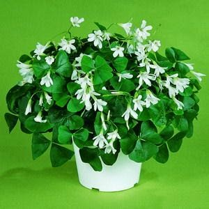 shamrock plant for good luck Irish