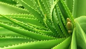 Health Benefits of Aloe Vera, Advantages of Aloe Vera