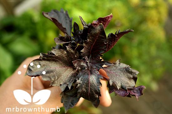 'Purple Ruffles' basil