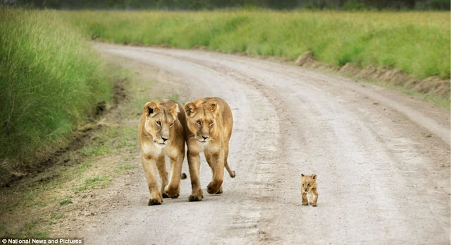 Tinny Cub Totters Along Road With Siblings  The Under Watcful Gaze of Lionesses (Photos)