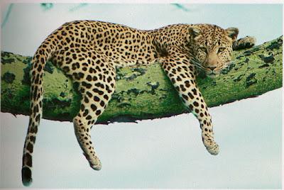Macan Tutul/Leopard (Panthera pardus)