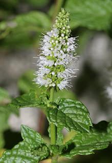 Lekovita biljka Nana