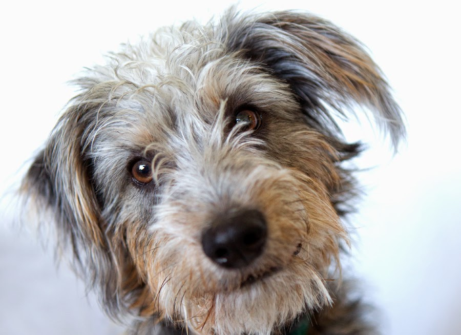 Shelter Dogs Of Portland Quot Mac Quot Handsome Shaggy Terrier
