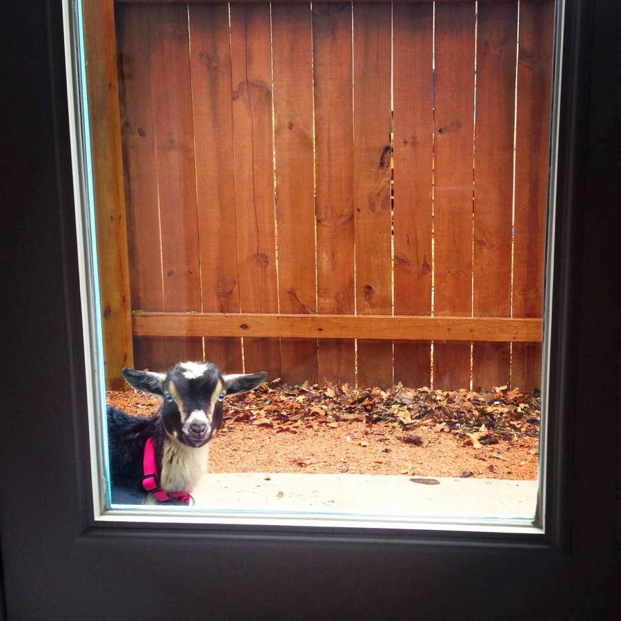 Funny animals of the week - 31 January 2014 (40 pics), goat peeking through the glass door