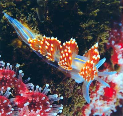 أجمل 10 أسماك ملونة في عالم البحار '' بالصور '' Nudibranch1.jpg