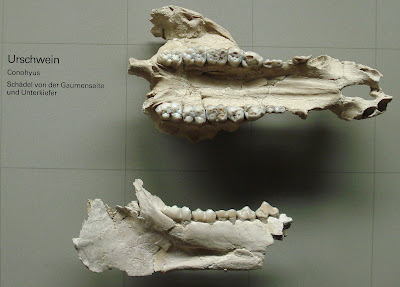 restos de craneo de Conohyus