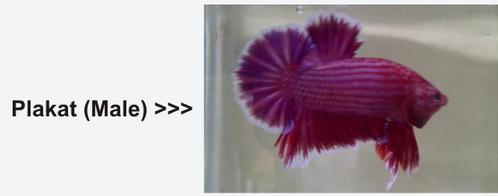 Gambar Ikan Plakat Jantan