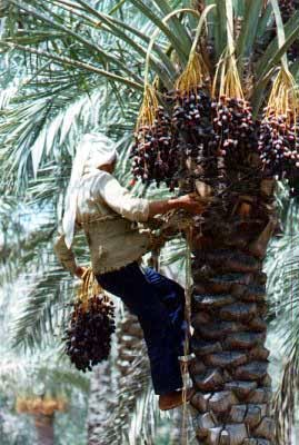 The date fruit is one of the most ancient crops