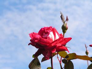 結婚相談所で結婚について相談できるのか?Blogのバラの花