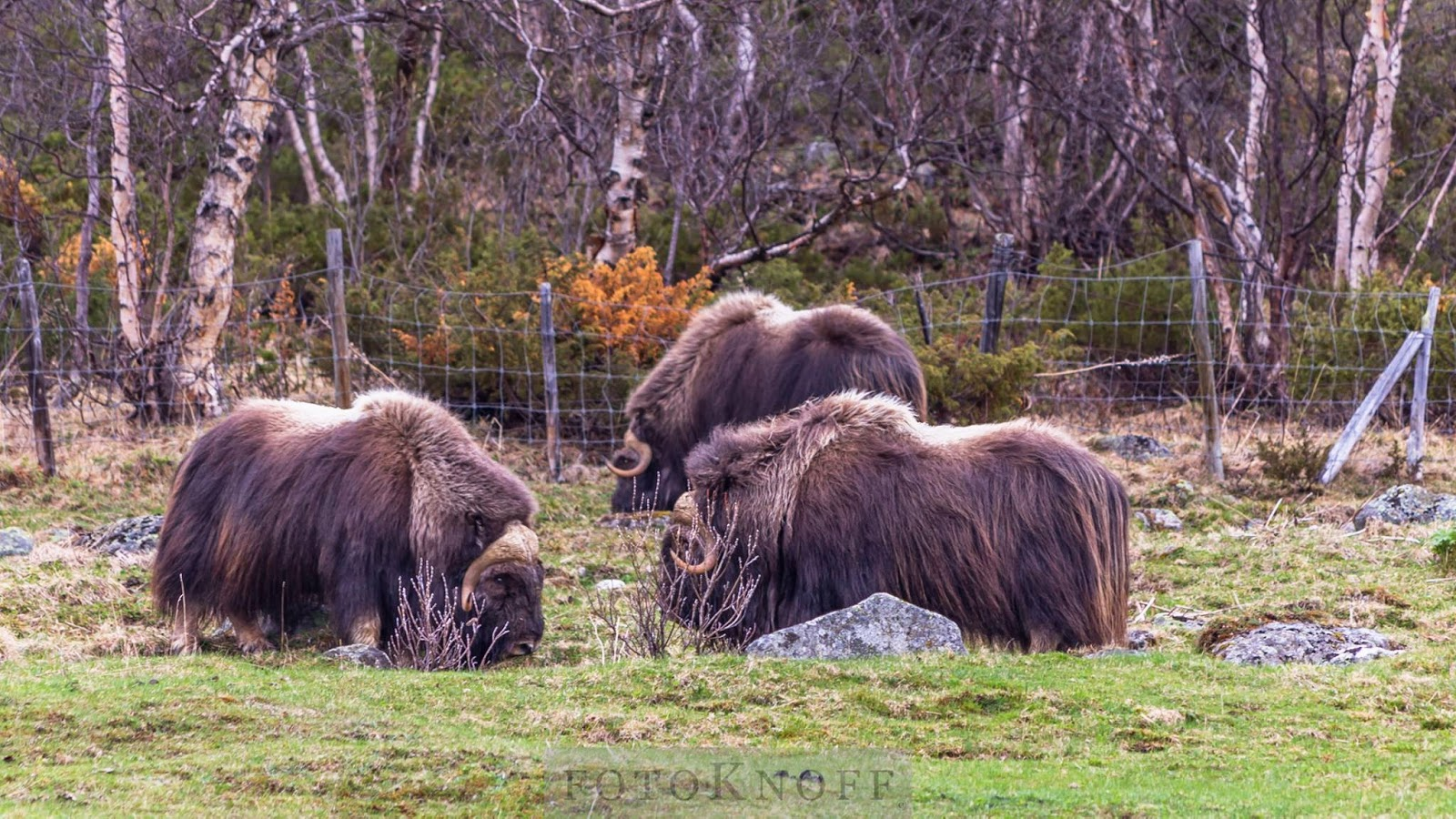 Musk oxen near Oppdal (Photo Sven-Erik Knoff)