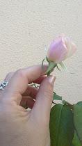 Capullo de rosa en mi mano