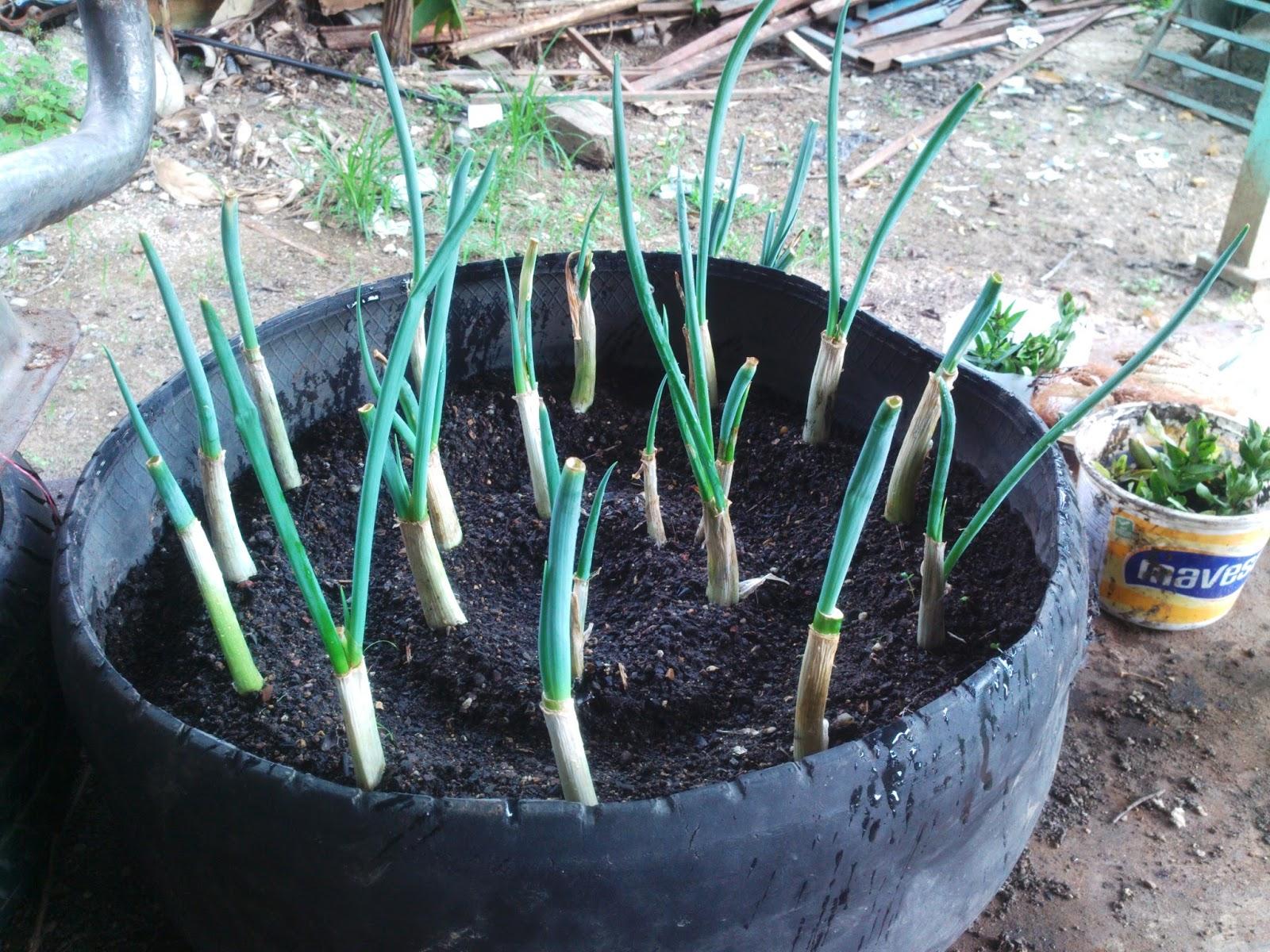 cultivo de cebollin en huerto familiar de ray avance 3 On siembra de cebollin en huertos