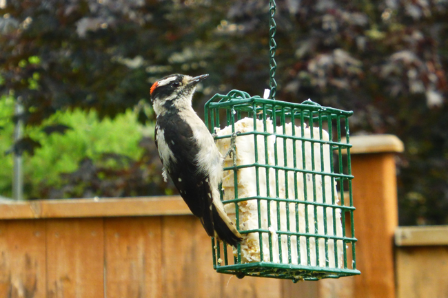 Woodpecker, Downy Woodpecker, bird, backyard bird