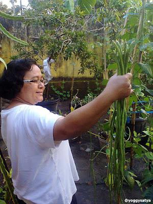 Kacang Panjang Kebun Sendiri