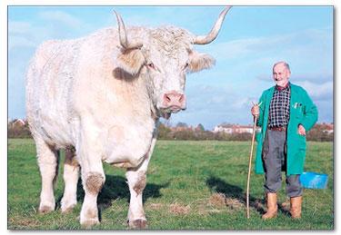 sapi terbesar di dunia