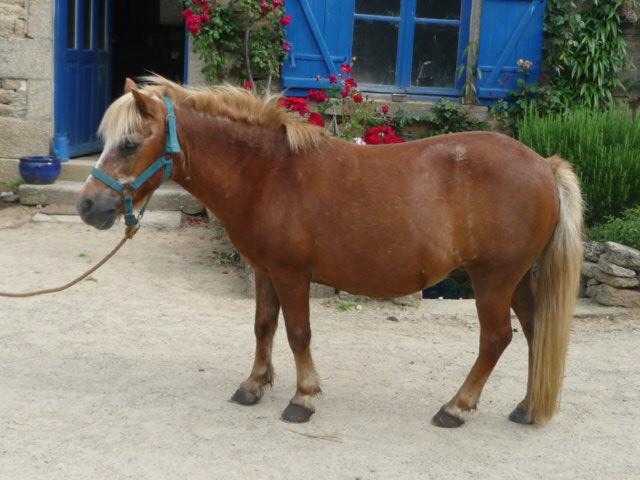 poney 1m10 a vendre
