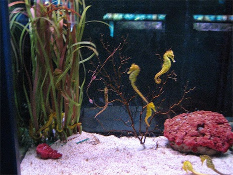 Keeping Seahorses: Three Keys to Success | FusedJaw | FusedJaw
