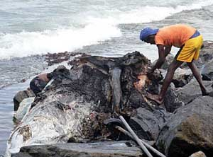 A Dead Whale Found at Wellawaththa  Beach photo