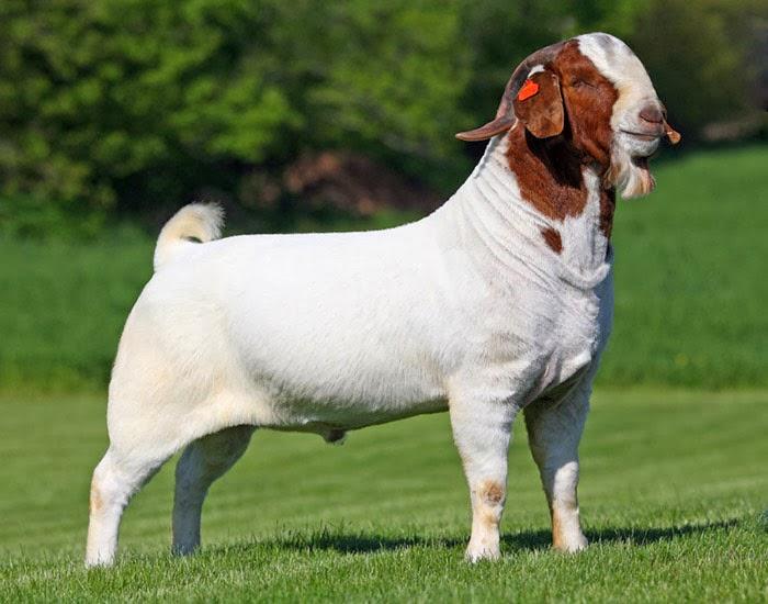 Boer Goat Bucks
