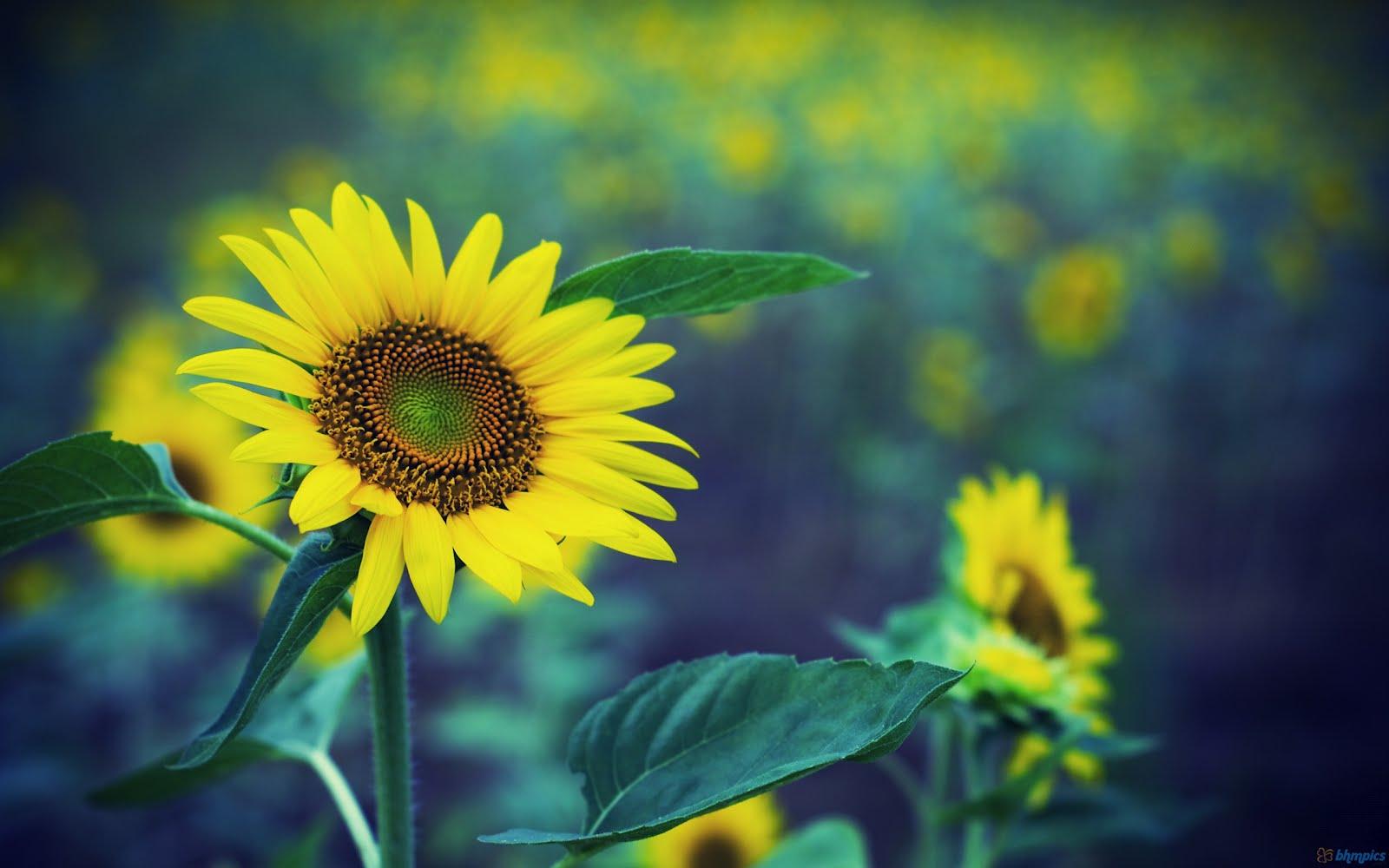 http://1.bp.blogspot.com/-mpWn-bN52hQ/T4E5BF85QqI/AAAAAAAAAT8/eB7jFckFXEs/s1600/flowers%2Bwallpapers4.jpg
