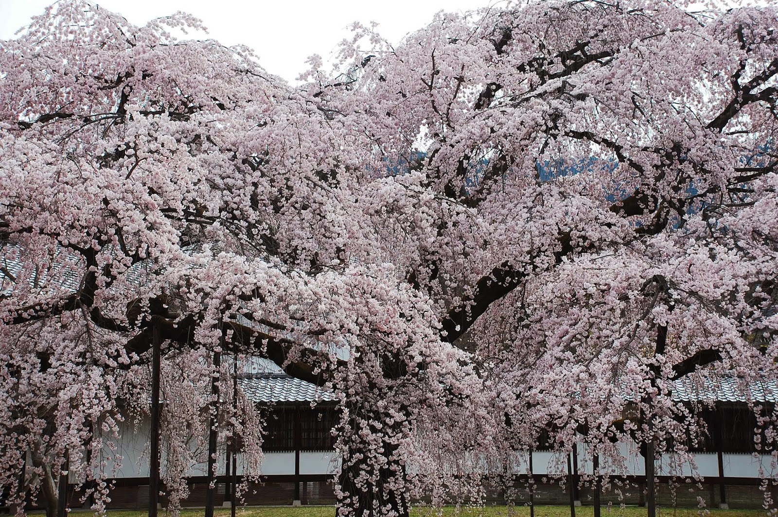garden design being heavily influenced by the landscape painting tradition took the core of aesthetic ideas from these sources - Japanese Garden Cherry Blossom Paintings