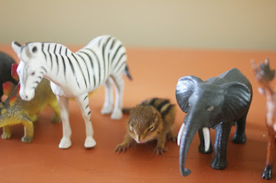 very young chipmunk standing with some plastic animal toys