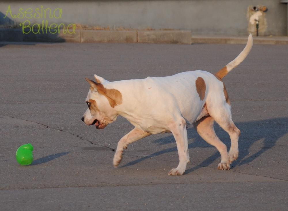 амстафф, американский стаффордширский терьер, терьер, американский, стаффордширский, собака, стафф, стаф, собака, порода, сука, dog, breed, female, puppy, play, fun, child, girl, american, staffordshire, terrier, ast, kong, dog toy, run, jump