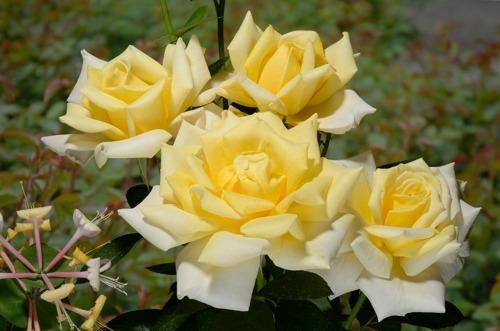 Casino rose сорт розы фото