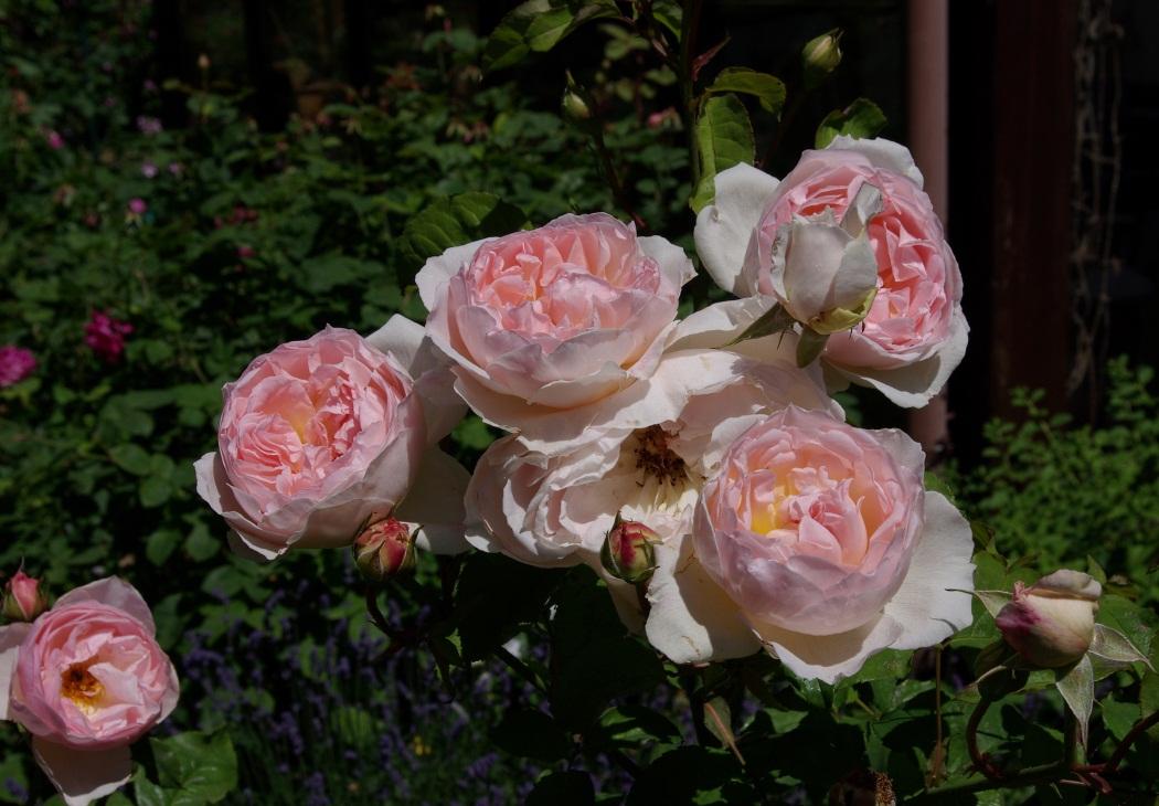 rudolfs park historischer rosen rosengeschichte und moral. Black Bedroom Furniture Sets. Home Design Ideas