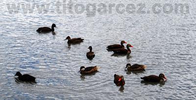Patos nadam tranquilamente no lago do Parque dos Falcões, em Sergipe