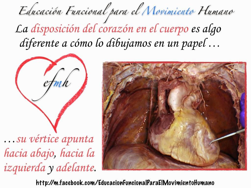 Piensa ANATÓMICAmente: El Corazón (1) | Educación Funcional para el ...