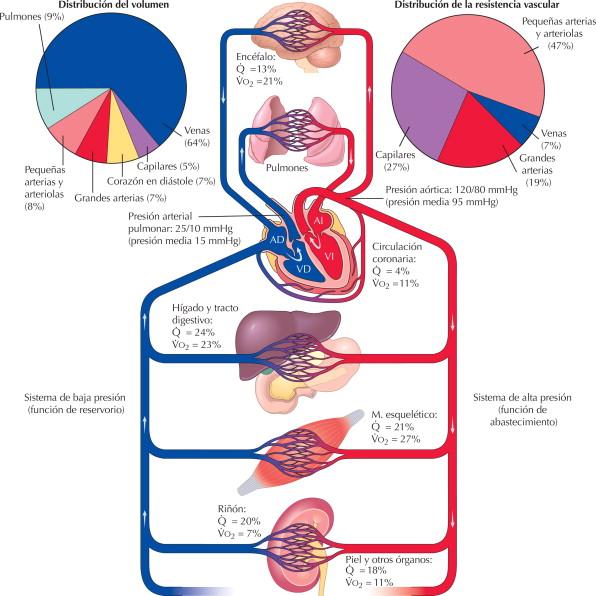 Sistema cardiovascular: organización | Netter Blog