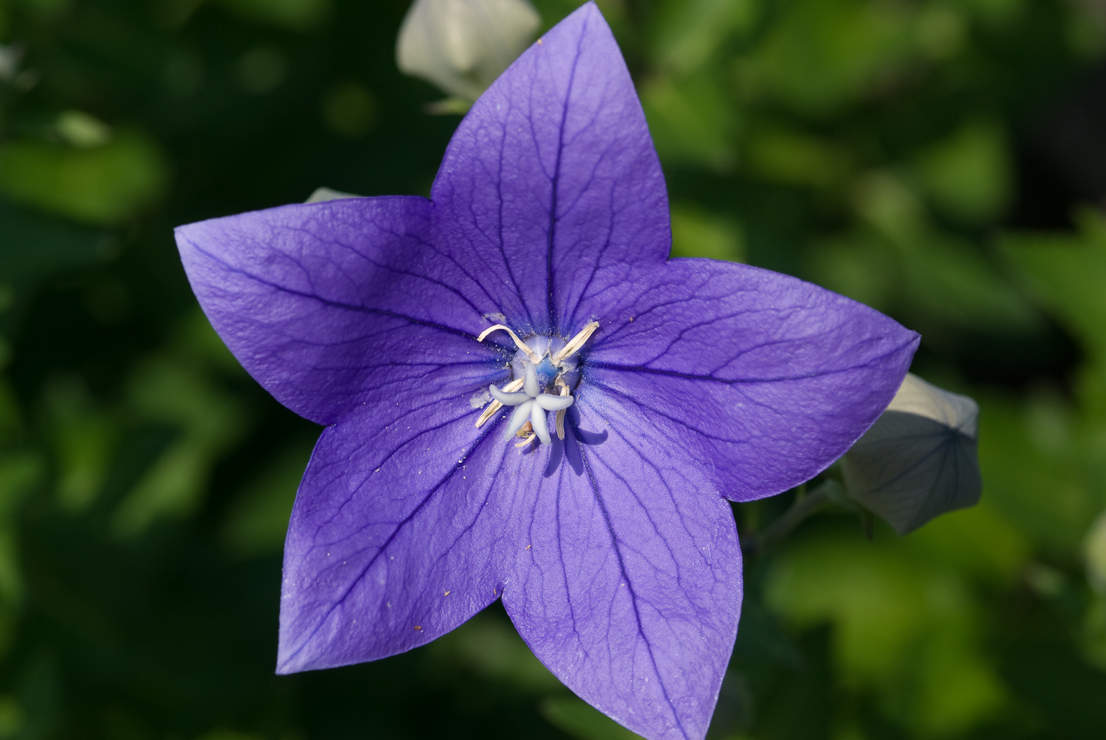 Flowers World Purple Balloon Flower Ohio