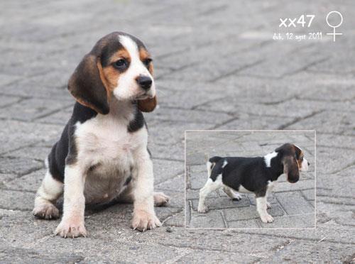 Harga Anjing Beagle