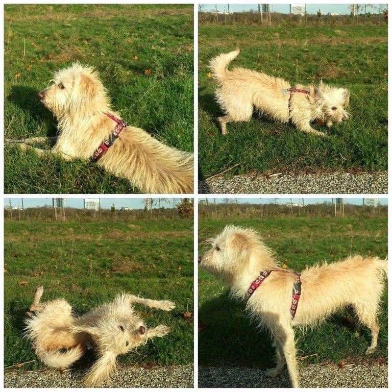 Phönixwest Mina spielen wälzen toben Hund