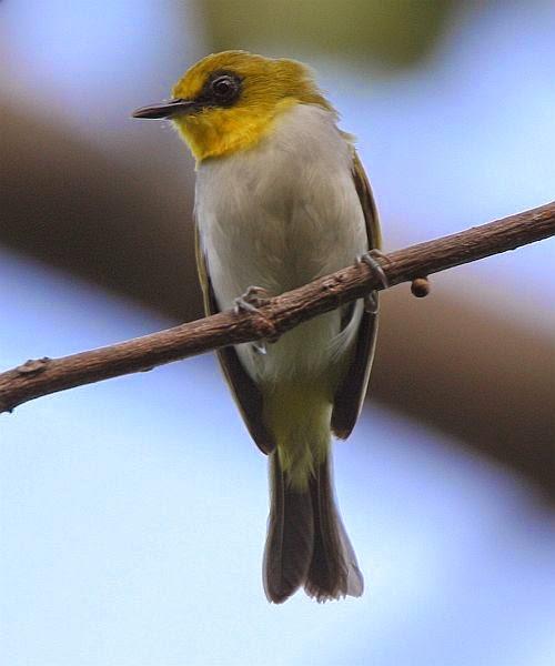Burung Pleci Yang Ada Di Indonesia