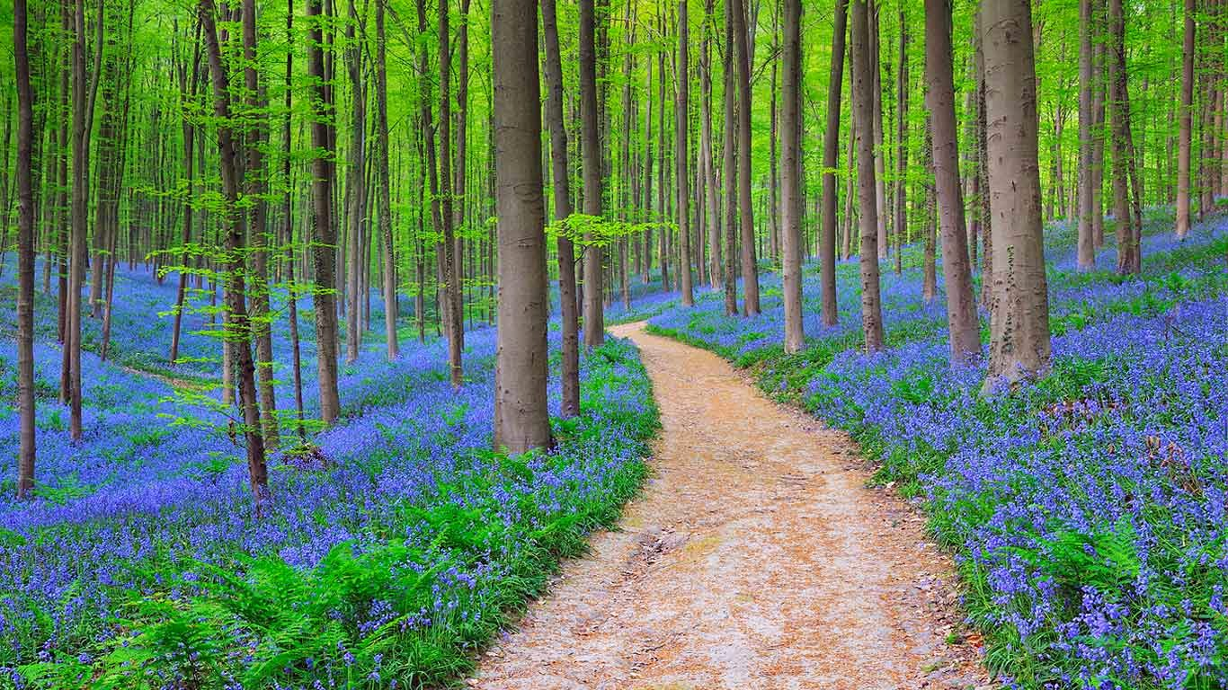 Bluebells in the Halle Forest near Halle, Belgium (© Ocean/Corbis) 298