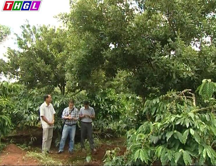 Gia Lai: Huyện Chư Păh - Người dân tự phát trồng cây mắc ca